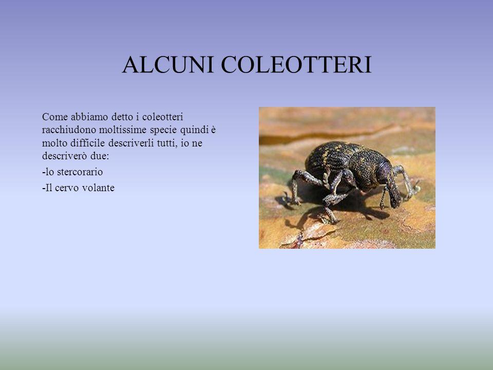 ALCUNI COLEOTTERICome abbiamo detto i coleotteri racchiudono moltissime specie quindi è molto difficile descriverli tutti, io ne descriverò due: