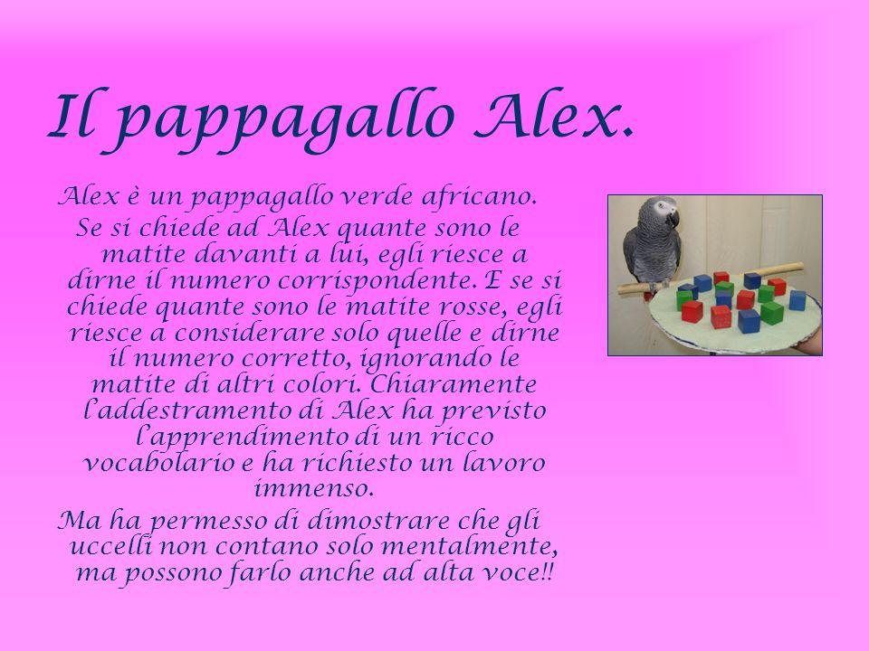 Alex è un pappagallo verde africano.