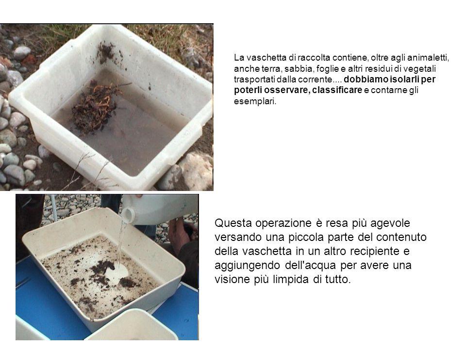 La vaschetta di raccolta contiene, oltre agli animaletti, anche terra, sabbia, foglie e altri residui di vegetali trasportati dalla corrente.... dobbiamo isolarli per poterli osservare, classificare e contarne gli esemplari.