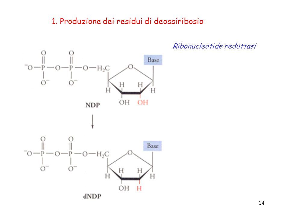 1. Produzione dei residui di deossiribosio