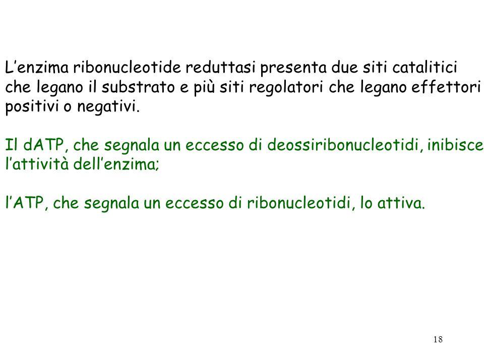 L'enzima ribonucleotide reduttasi presenta due siti catalitici