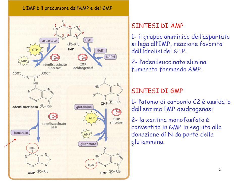 2- l'adenilsuccinato elimina fumarato formando AMP.
