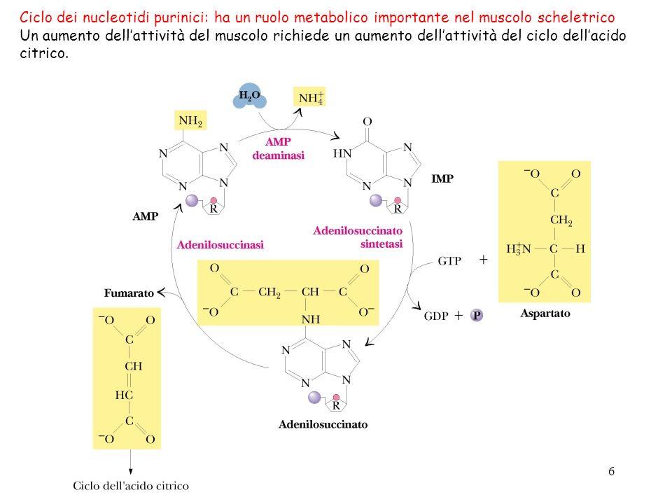 Ciclo dei nucleotidi purinici: ha un ruolo metabolico importante nel muscolo scheletrico