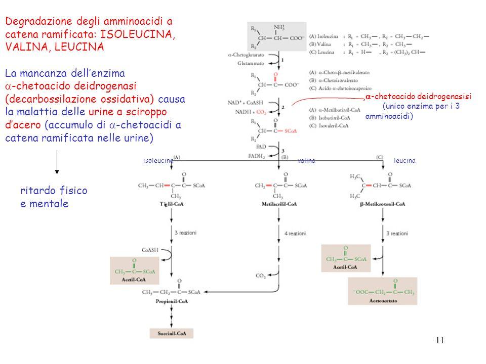 Degradazione degli amminoacidi a catena ramificata: ISOLEUCINA,