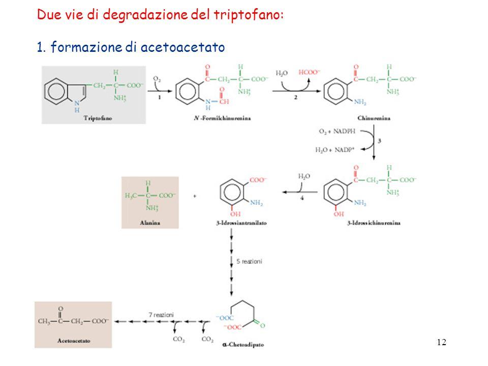 Due vie di degradazione del triptofano:
