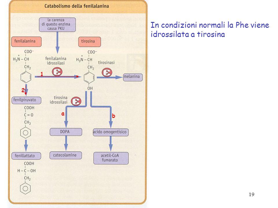 In condizioni normali la Phe viene idrossilata a tirosina