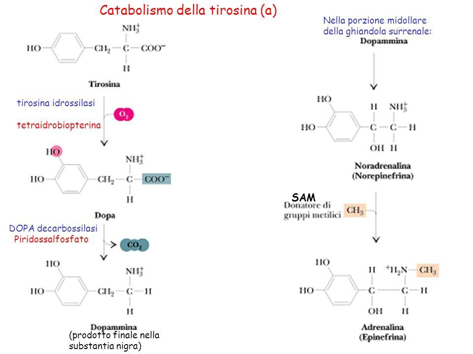 Catabolismo della tirosina (a)