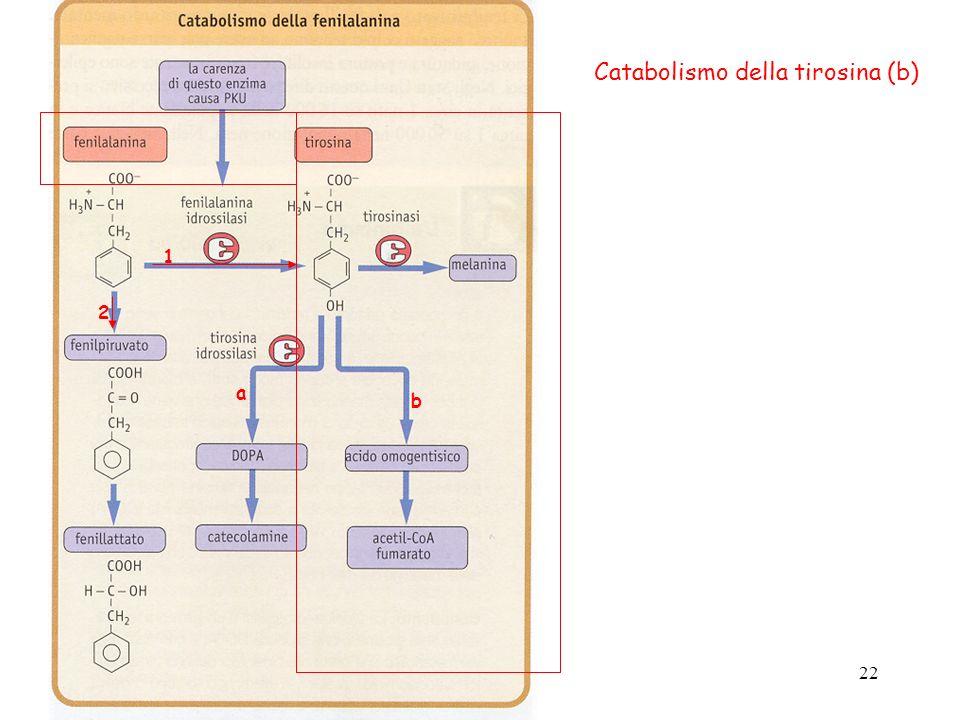 Catabolismo della tirosina (b)