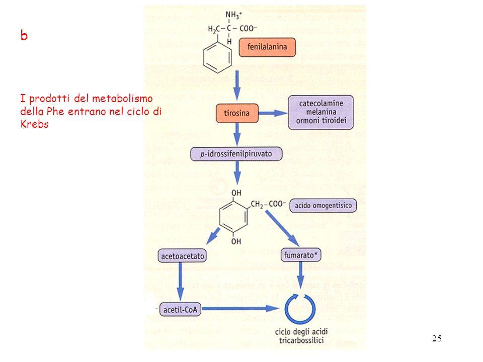 b I prodotti del metabolismo della Phe entrano nel ciclo di Krebs