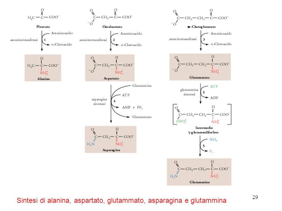 Sintesi di alanina, aspartato, glutammato, asparagina e glutammina