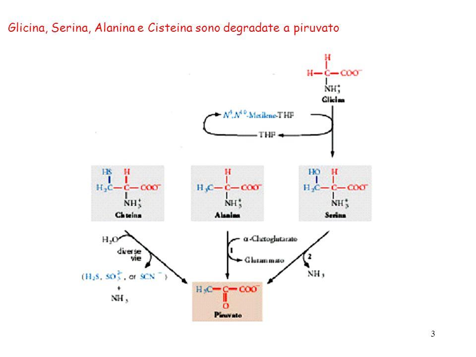 Glicina, Serina, Alanina e Cisteina sono degradate a piruvato