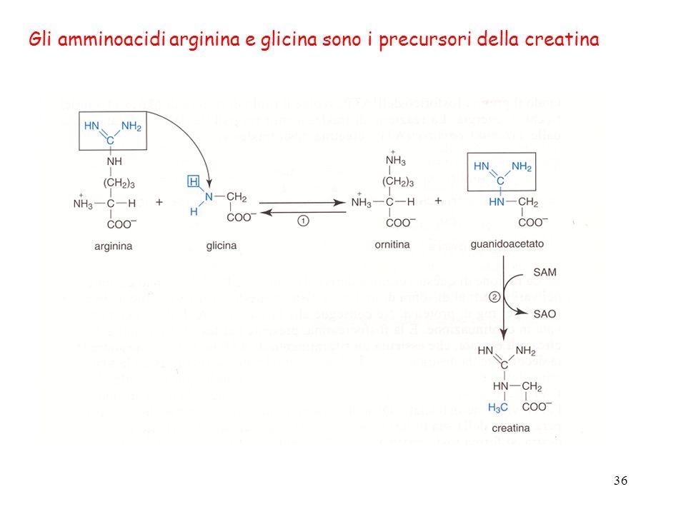 Gli amminoacidi arginina e glicina sono i precursori della creatina