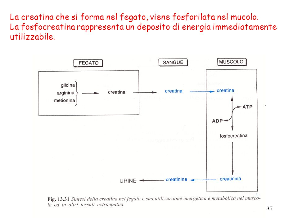 La creatina che si forma nel fegato, viene fosforilata nel mucolo.