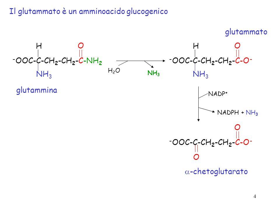 Il glutammato è un amminoacido glucogenico