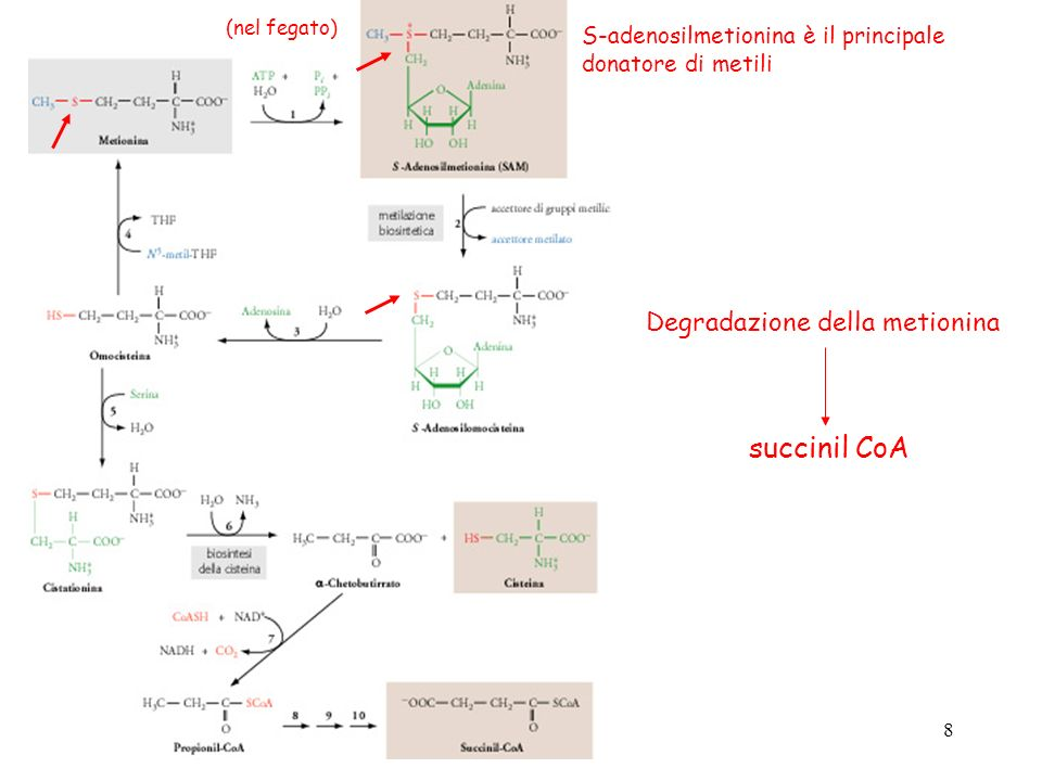 succinil CoA Degradazione della metionina