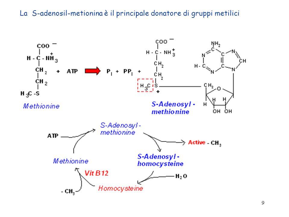 La S-adenosil-metionina è il principale donatore di gruppi metilici