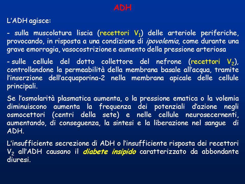 ADH L'ADH agisce: