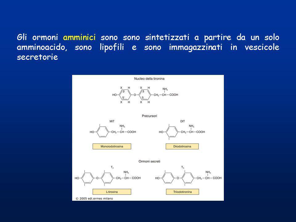 Gli ormoni amminici sono sono sintetizzati a partire da un solo amminoacido, sono lipofili e sono immagazzinati in vescicole secretorie