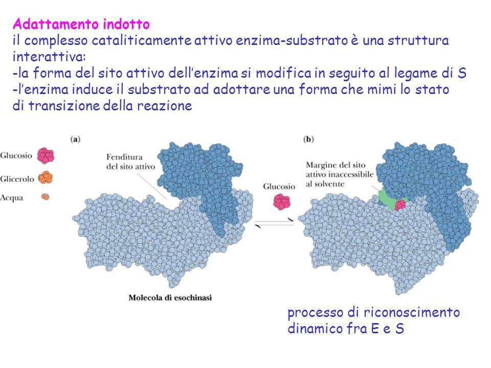 Adattamento indotto il complesso cataliticamente attivo enzima-substrato è una struttura. interattiva: