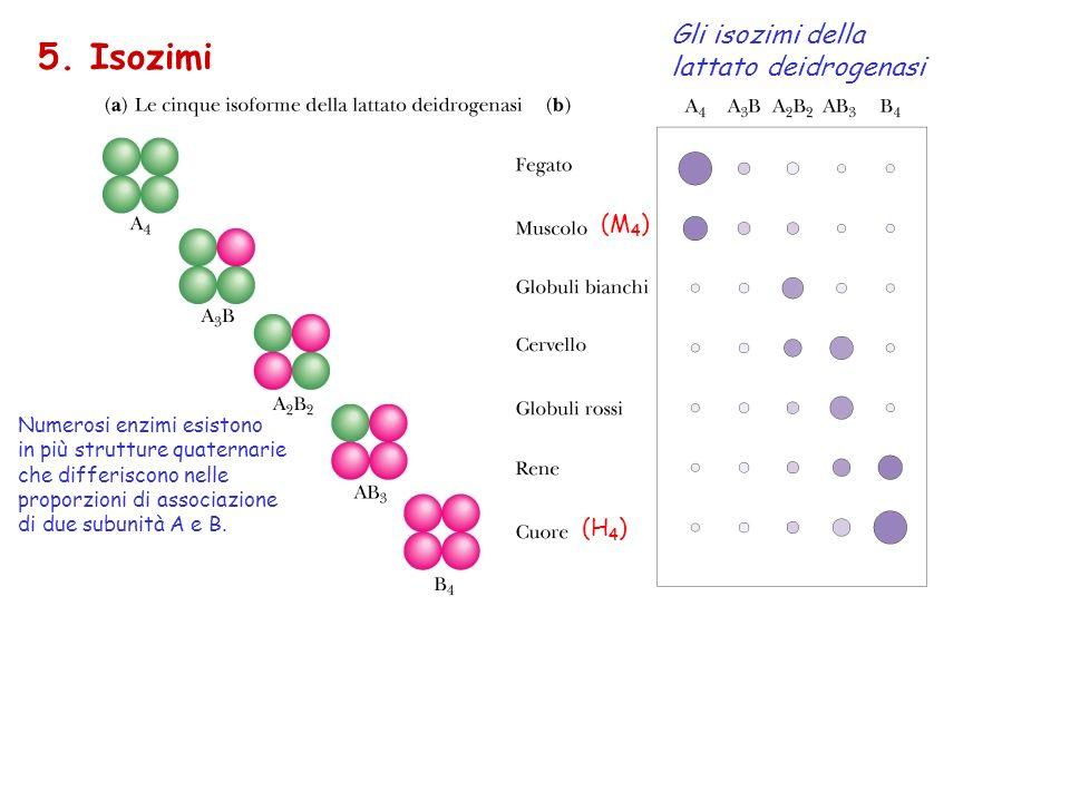 5. Isozimi Gli isozimi della lattato deidrogenasi (M4) (H4)