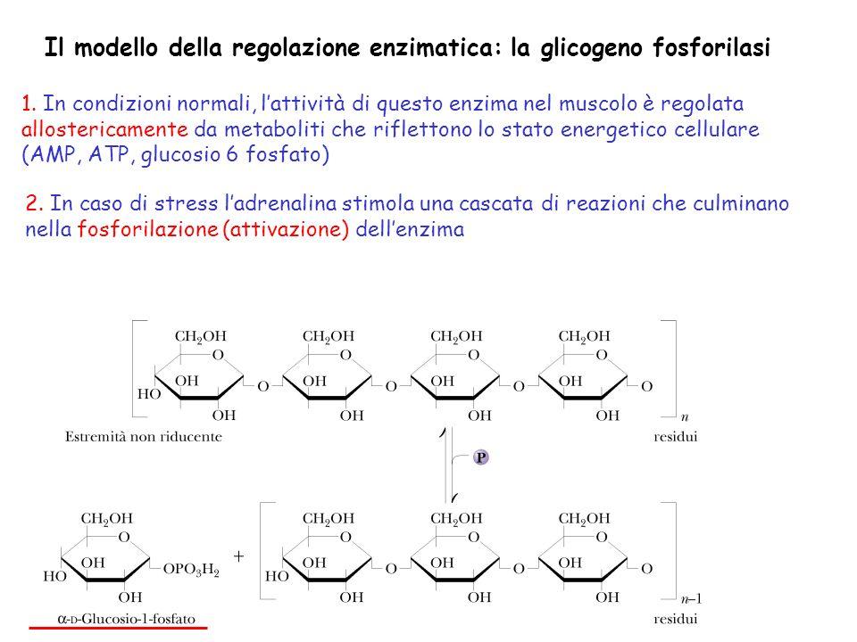 Il modello della regolazione enzimatica: la glicogeno fosforilasi