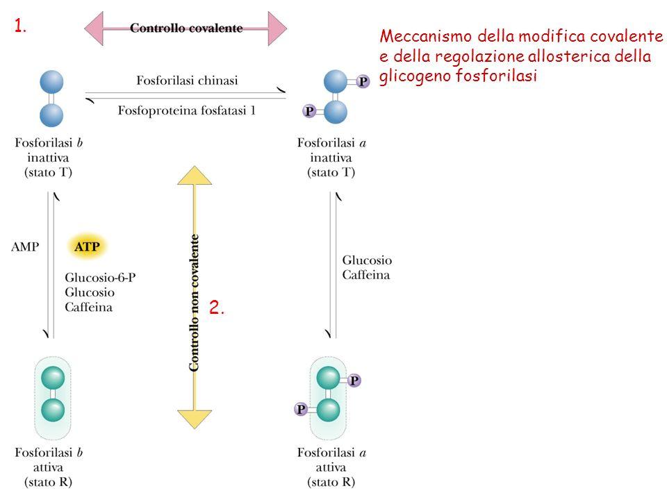 1. 2. Meccanismo della modifica covalente