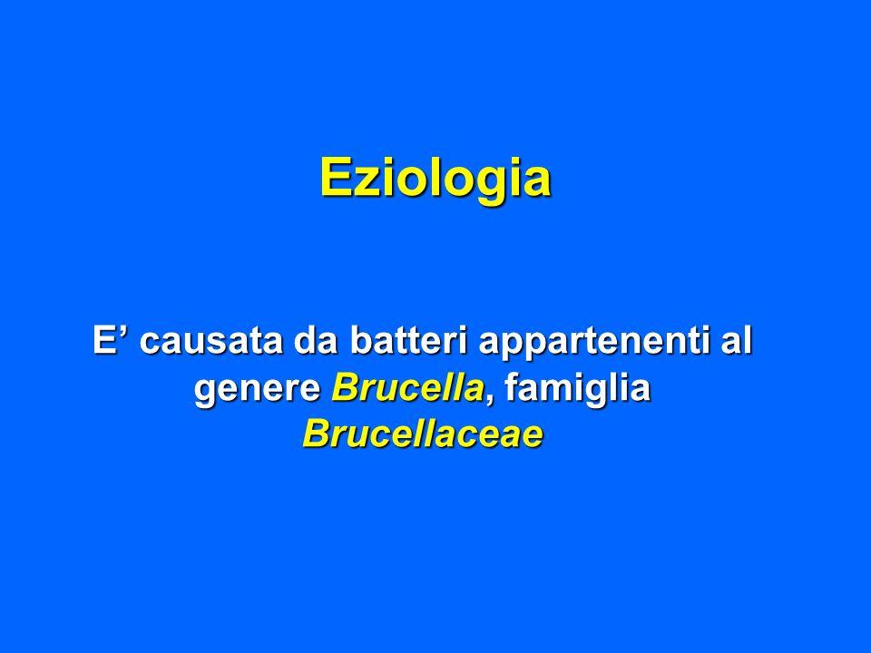 Eziologia E' causata da batteri appartenenti al genere Brucella, famiglia Brucellaceae