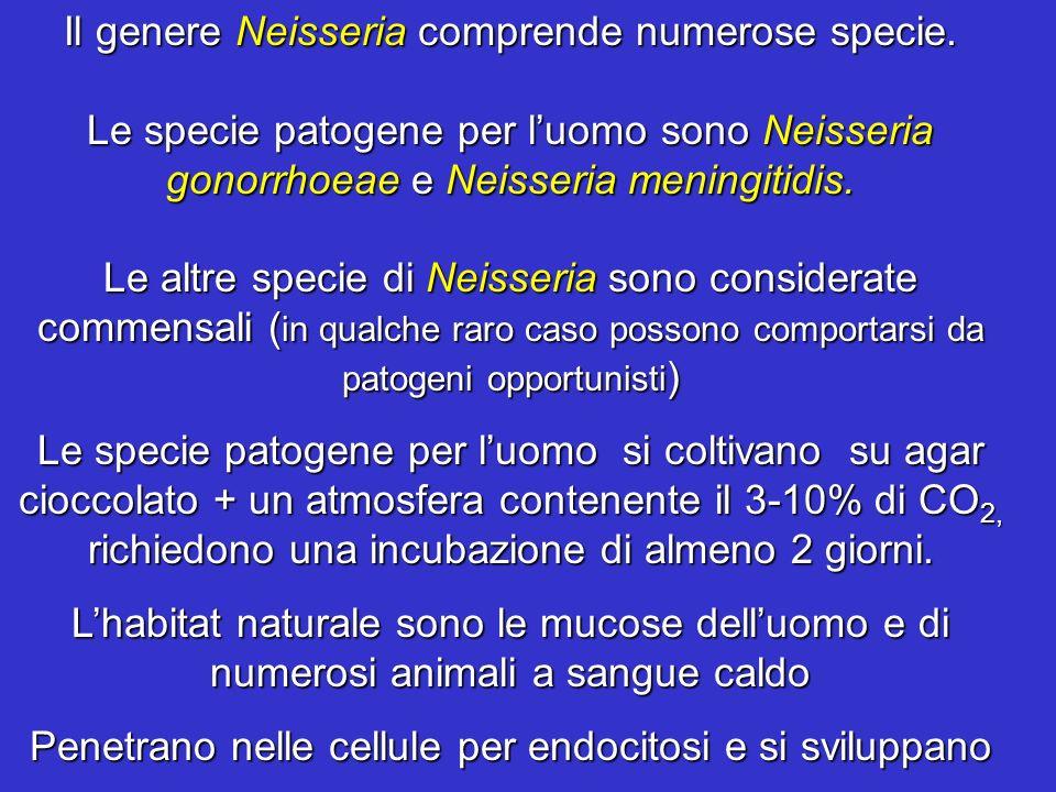 Il genere Neisseria comprende numerose specie.