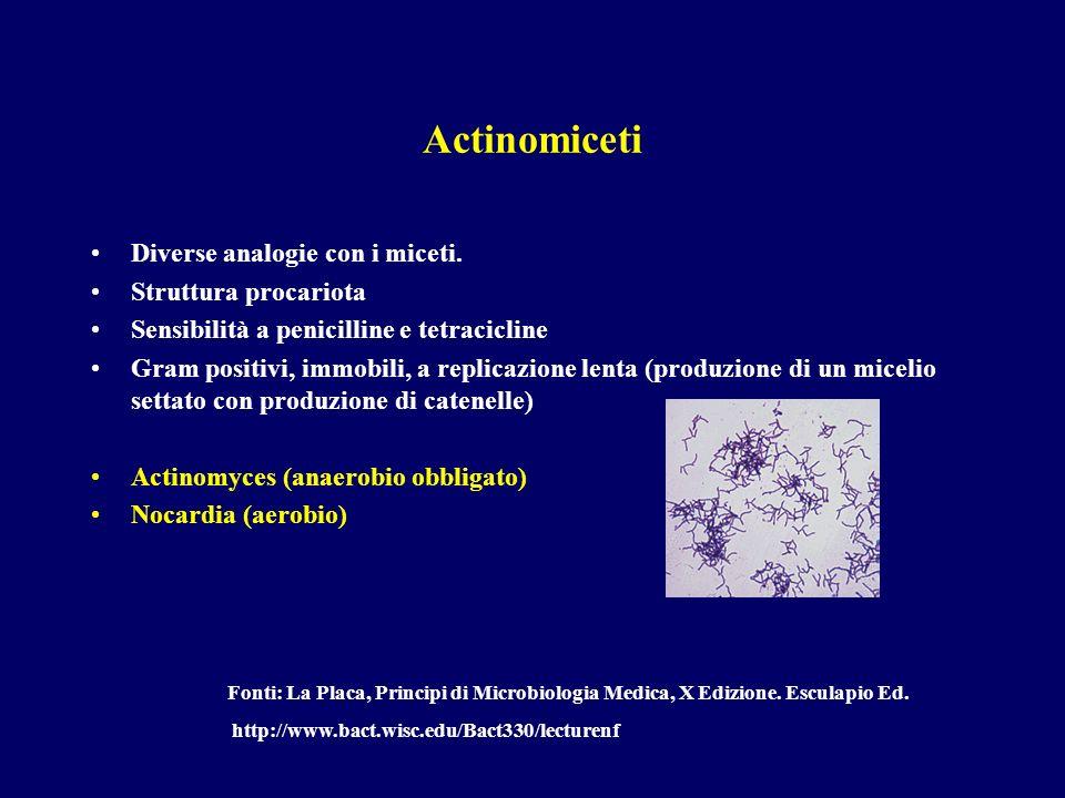 Actinomiceti Diverse analogie con i miceti. Struttura procariota