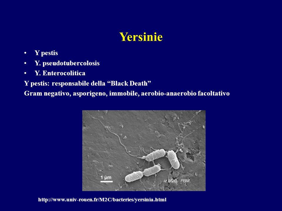 Yersinie Y pestis Y. pseudotubercolosis Y. Enterocolitica