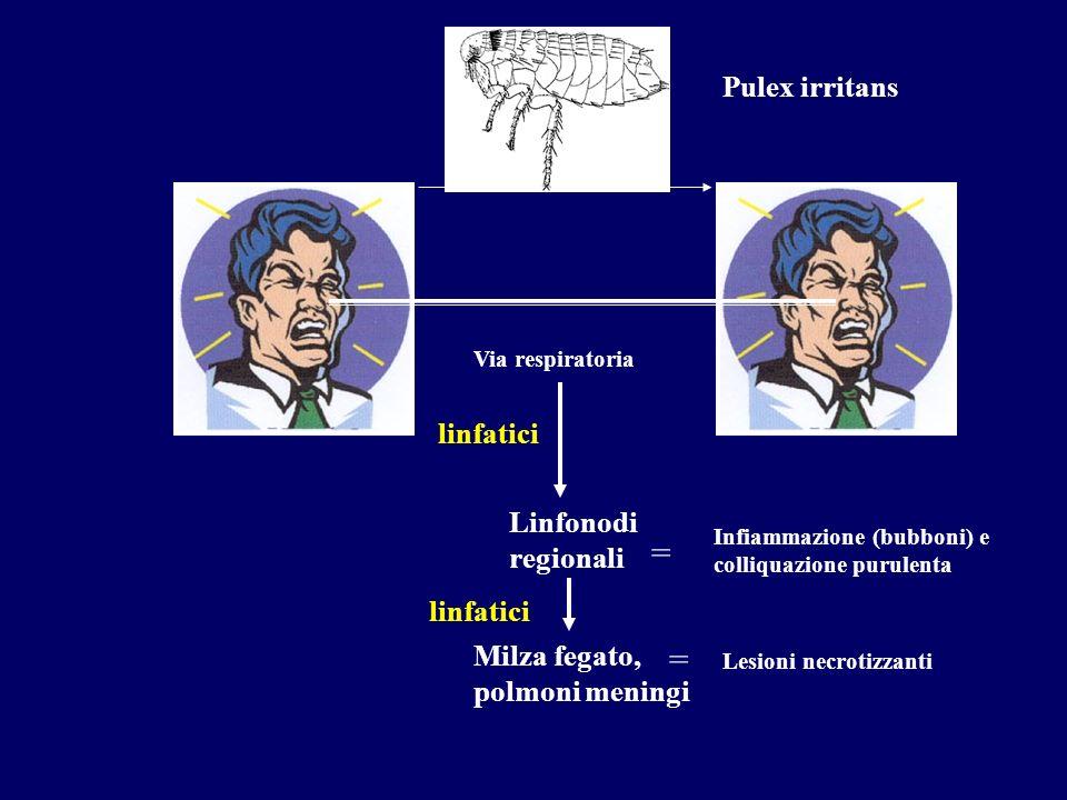 = = Pulex irritans linfatici Linfonodi regionali linfatici