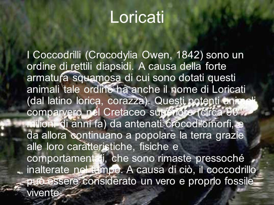 Loricati