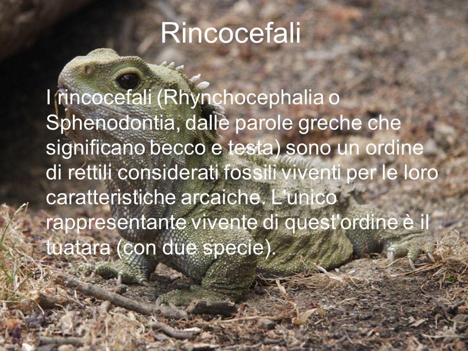 Rincocefali