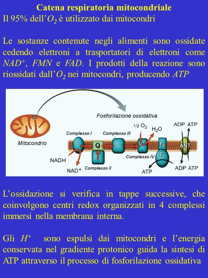 Catena respiratoria mitocondriale