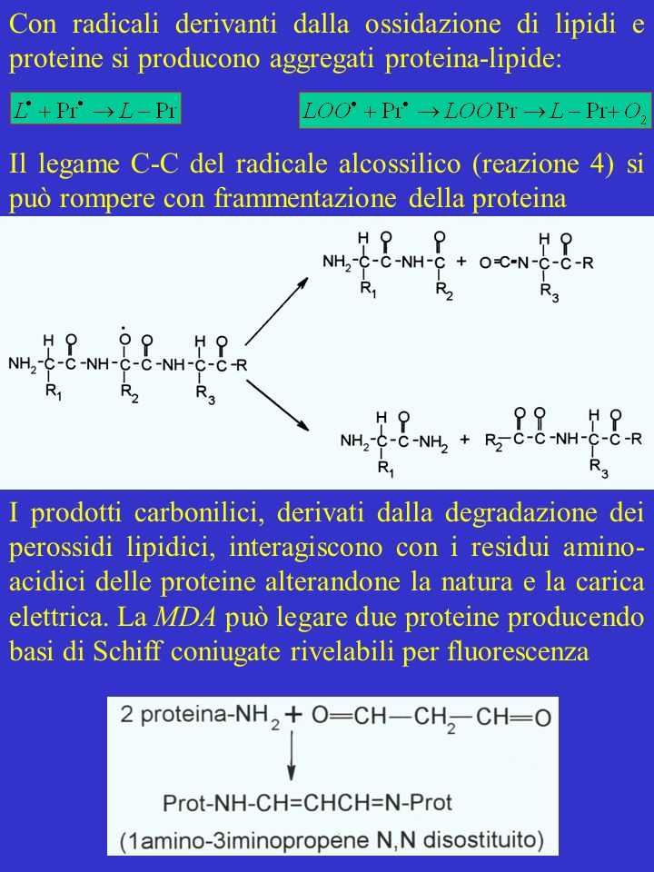 Con radicali derivanti dalla ossidazione di lipidi e proteine si producono aggregati proteina-lipide: