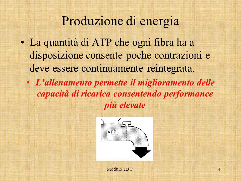 Produzione di energia La quantità di ATP che ogni fibra ha a disposizione consente poche contrazioni e deve essere continuamente reintegrata.