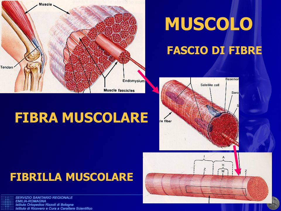 MUSCOLO FASCIO DI FIBRE FIBRA MUSCOLARE FIBRILLA MUSCOLARE
