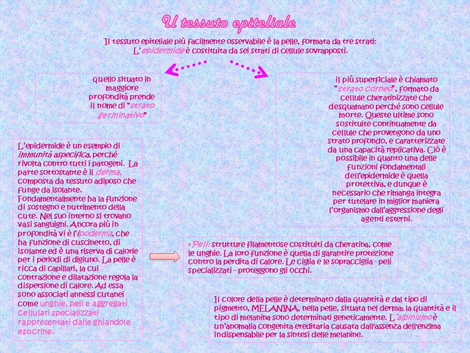L'epidermide è costituita da sei strati di cellule sovrapposti.
