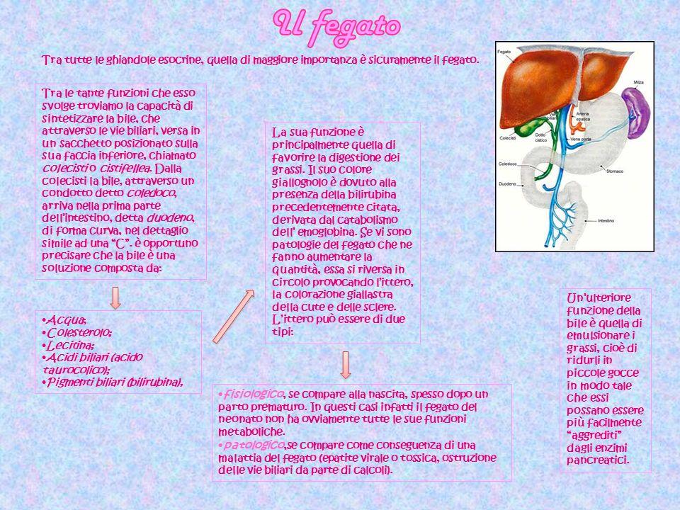 Il fegato Tra tutte le ghiandole esocrine, quella di maggiore importanza è sicuramente il fegato.