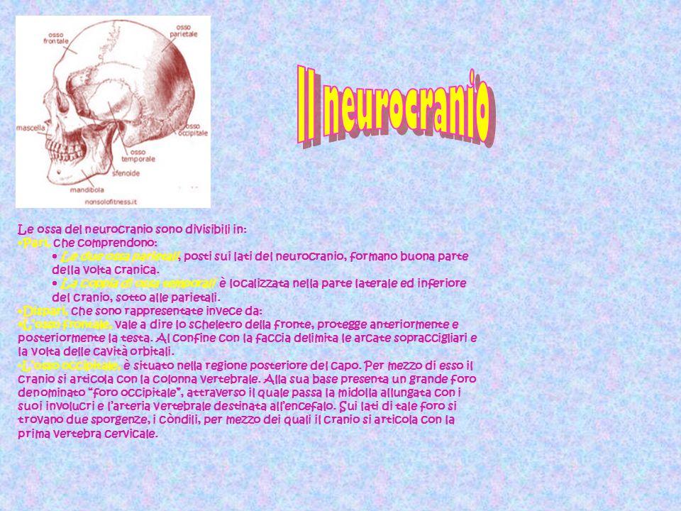 Il neurocranio Le ossa del neurocranio sono divisibili in:
