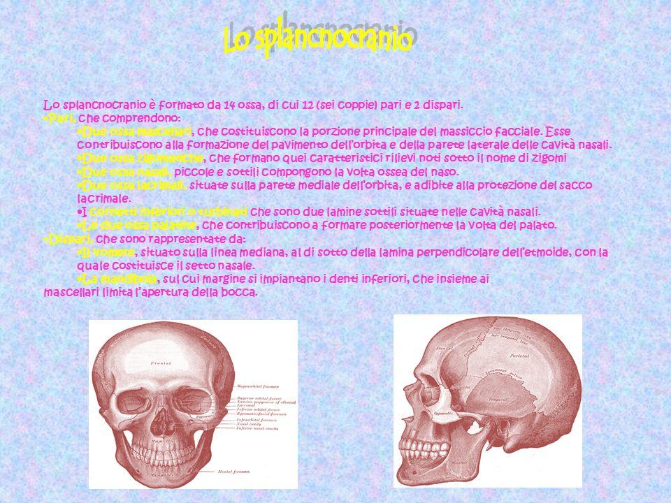 Lo splancnocranio Lo splancnocranio è formato da 14 ossa, di cui 12 (sei coppie) pari e 2 dispari. Pari, che comprendono: