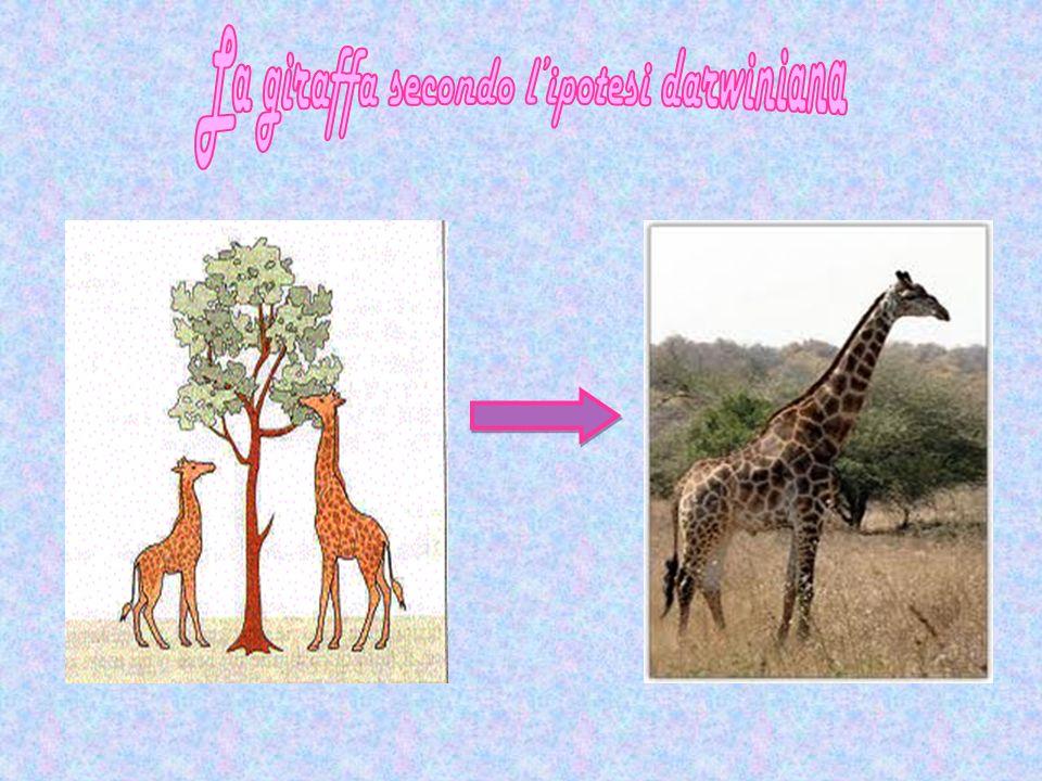 La giraffa secondo l'ipotesi darwiniana