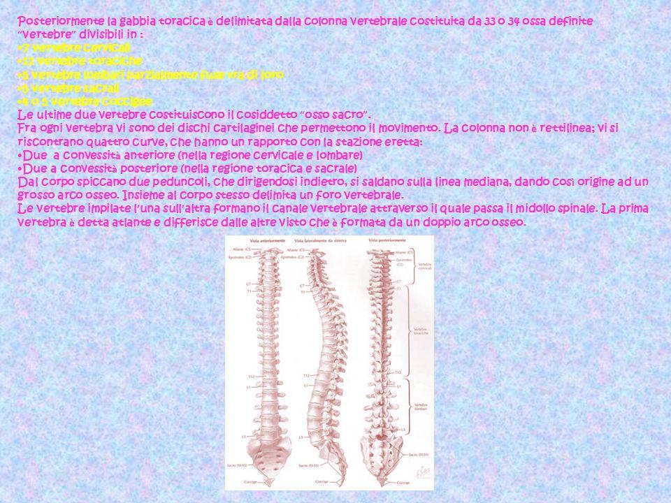 Posteriormente la gabbia toracica è delimitata dalla colonna vertebrale costituita da 33 o 34 ossa definite vertebre divisibili in :
