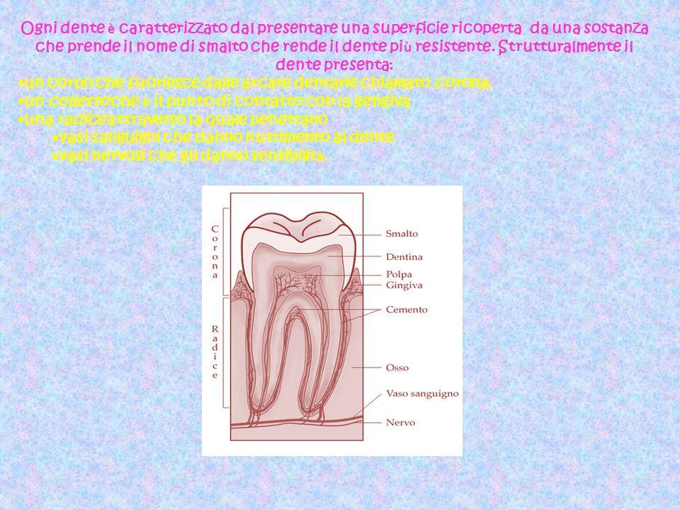 Ogni dente è caratterizzato dal presentare una superficie ricoperta da una sostanza che prende il nome di smalto che rende il dente più resistente. Strutturalmente il dente presenta: