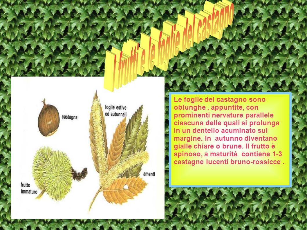 I frutti e le foglie del castagno