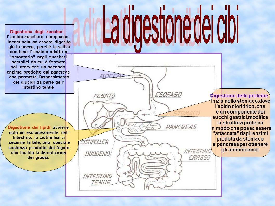La digestione dei cibi Digestione delle proteine :