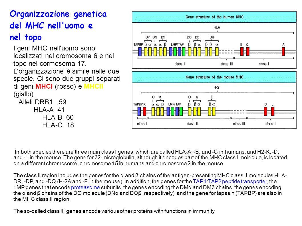 Organizzazione genetica del MHC nell uomo e nel topo