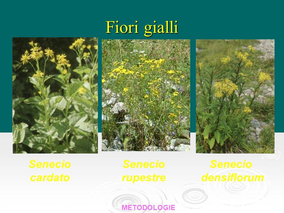 Fiori gialli Senecio cardato Senecio rupestre Senecio densiflorum