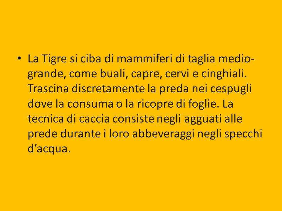 La Tigre si ciba di mammiferi di taglia medio-grande, come buali, capre, cervi e cinghiali.