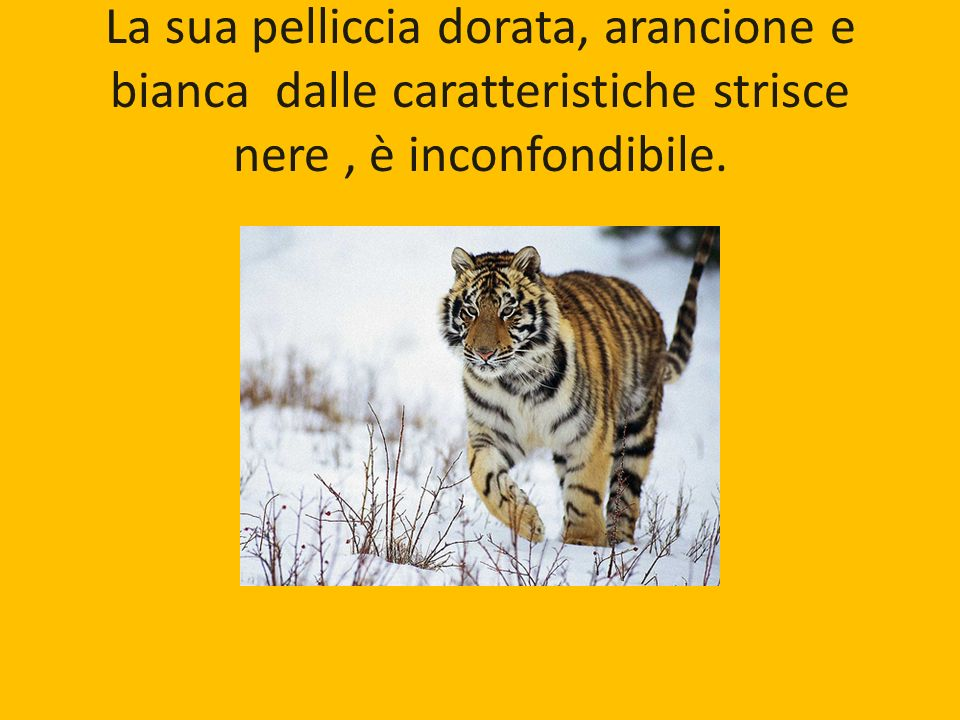 La sua pelliccia dorata, arancione e bianca dalle caratteristiche strisce nere , è inconfondibile.